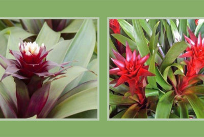 Bromeliads | Old Metairie Garden Club
